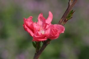花桃。kaze撮影
