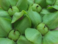 拾い集めた小さな柿の実
