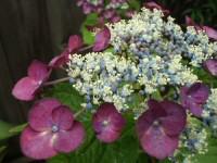 母の実家の額紫陽花