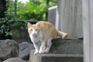 りりしい美猫