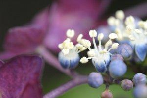 母の実家の額紫陽花、kaze撮影