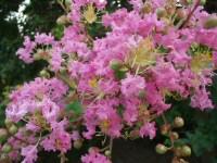 武蔵野では、この色のサルスベリの花をよく見かけます