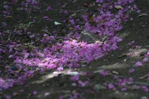 百日紅の落花(らっか)