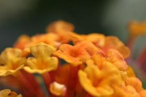 オレンジランタナ