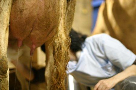 牛さんの乳頭を拭いているkuu