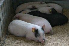 ミニ豚、kaze撮影