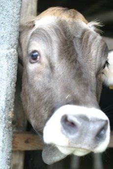 牛さん、kaze撮影