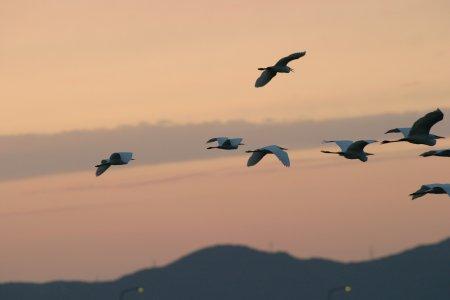 白鷺の飛翔、kaze撮影