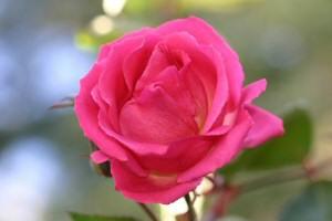 ウチの庭の薔薇、1月21日に撮影