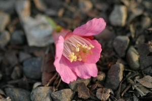 昨年3月14日に撮った寒緋桜