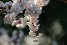 大きな杏の花、kaze撮影