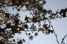 小さな杏の花、kuu撮影