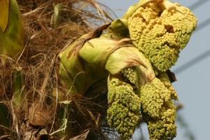 棕櫚(シュロ)の花