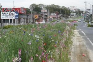 中央分離帯のお花畑(@田舎)、kaze撮影