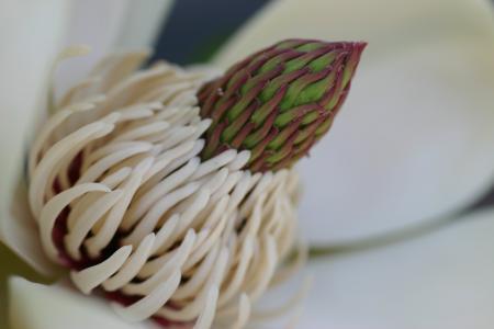 朴の花の雄しべ、雌しべ