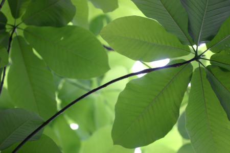 朴の葉、下(裏側)から