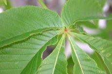 トチノキの葉の中心