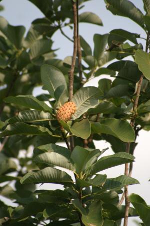 実の付いた朴の木