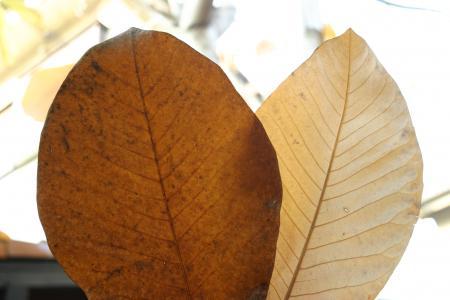朴の葉、表と裏