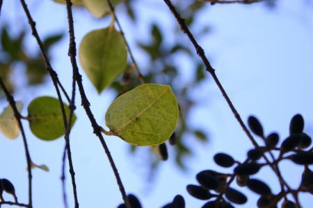 これもネズミモチの葉っぱ