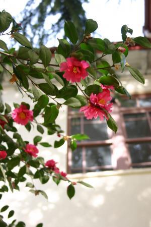 キャンパスの山茶花