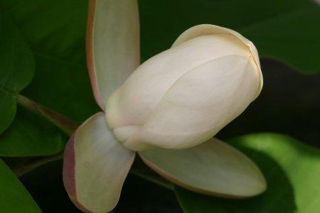 閉じた朴の花