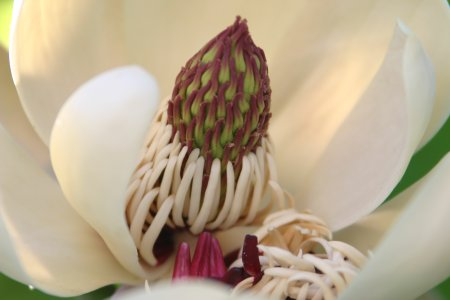 朴の花、雄しべが崩れ…