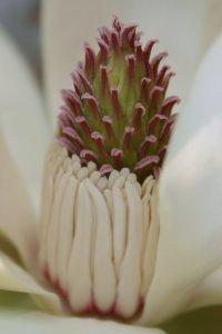 朴の花、蘂の部分(1日目)