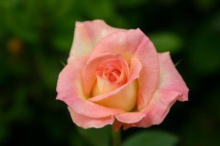 薔薇(ダイアナ・プリンセス・オブ・ウェールズ)