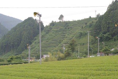 水見色の茶畑、kaze撮影