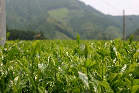 水見色の茶畑、kuu撮影