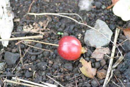 姫リンゴ、kaze撮影