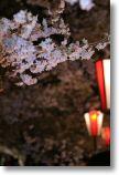 高遠城址公園、夜桜見物