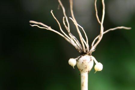 野蒜の鱗茎