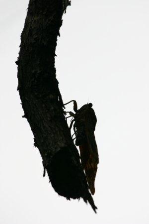 油蝉の産卵