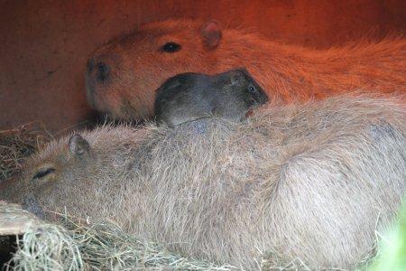 カピバラさんとテンジクネズミ