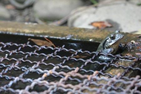 アズマヒキガエルのオス