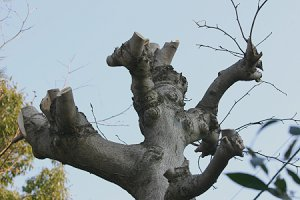 枝を落とした辛夷