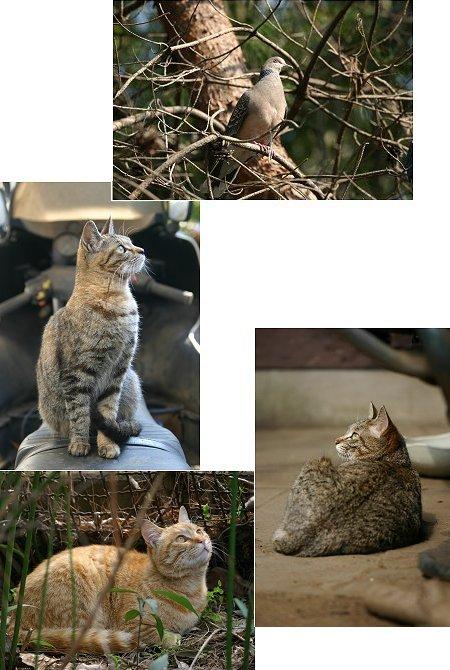 キジバトと見あげる猫