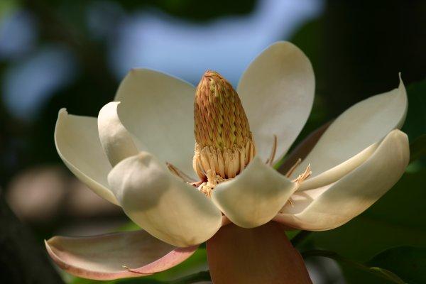 ウケザキオオヤマレンゲ
