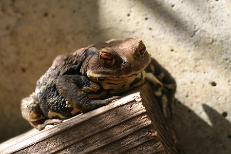 アズマヒキガエルのメス