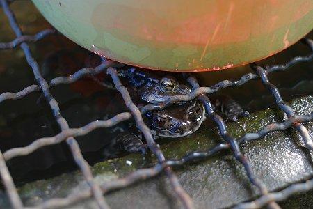 アズマヒキガエルの抱接