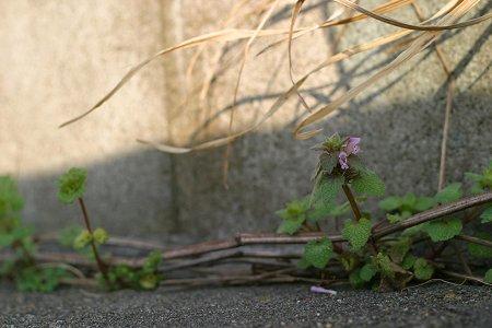 姫踊り子草
