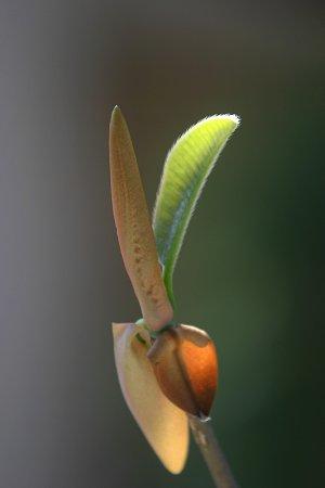 朴の芽吹き