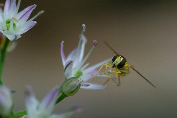 野蒜の花とホソヒラタアブ