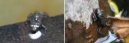 アズマヒキガエルの幼体