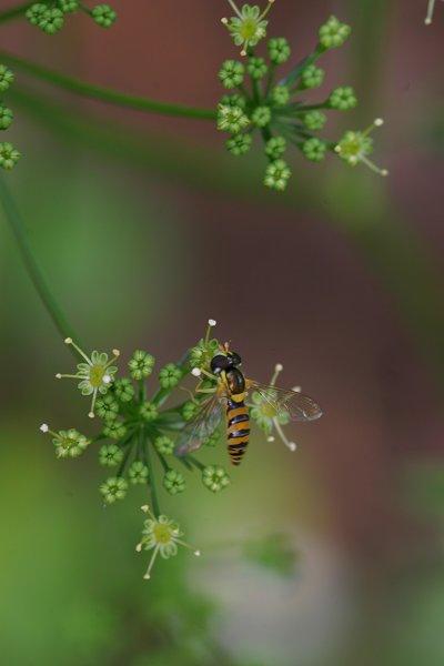 イタリアンパセリの花とキベリヒラタアブ