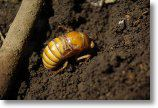 アブラゼミの幼虫