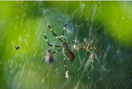 女郎蜘蛛、メスとオス