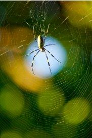 女郎蜘蛛メス